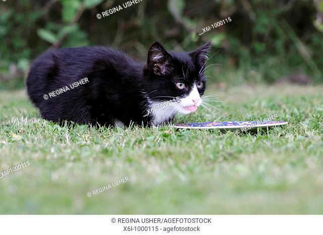 Cat, young black kitten feeding from plate in garden