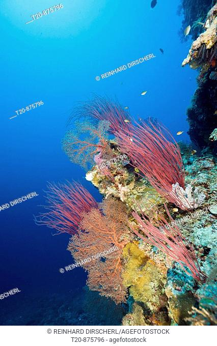 Reef rich in Species, Siaes Wall, Micronesia, Palau