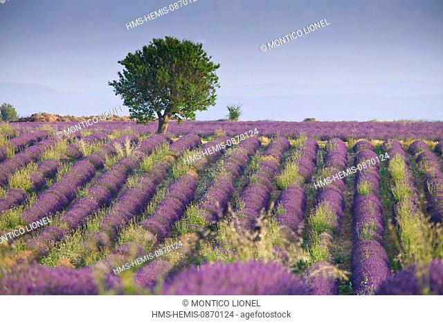 France, Alpes de Haute Provence, Parc Naturel Regional du Verdon (Natural Regional Park of Verdon), Valensole, lavender fields