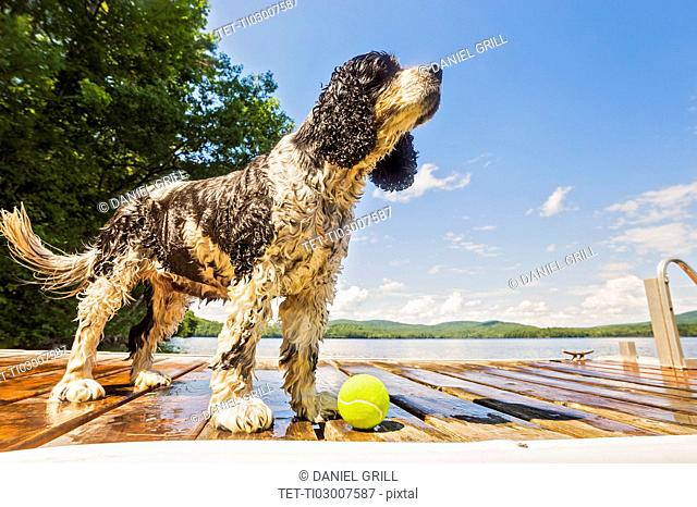 Wet dog standing with ball on jetty