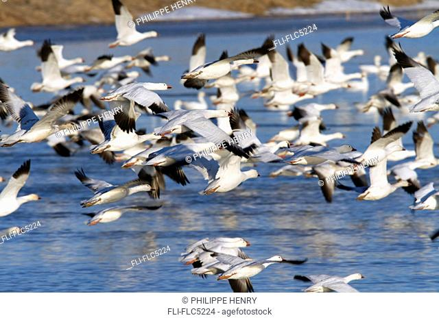 Group of snow geese in flight. Chen caerulescens. La Baie du Febvre. Province of Quebec. Canada