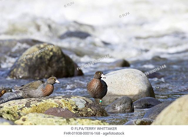 Blue Duck Hymenolaimus malacorhynchus two adults, standing on rocks in river, Manganui-o-te-ao River, North Island, New Zealand