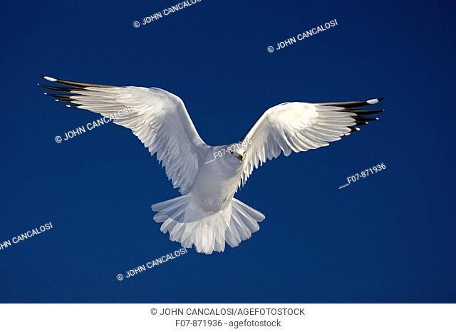 Ring-billed Gull (Larus delawarensis), adult soaring. New York, USA
