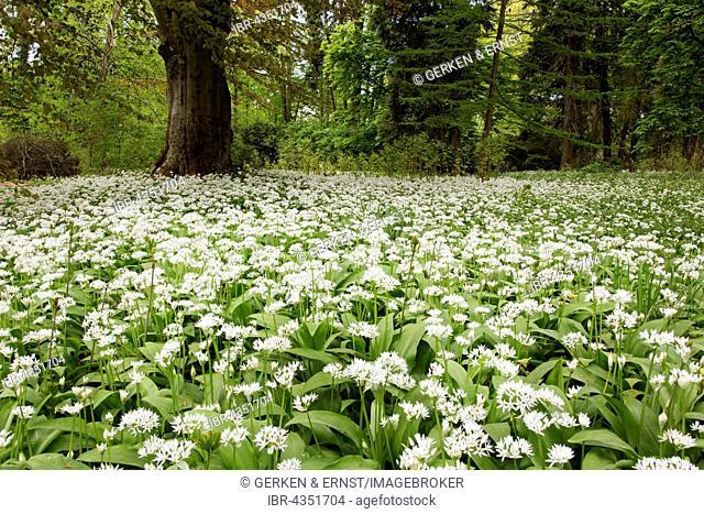 Blooming wild garlic (Allium ursinum), Putbus, Ruegen, Germany