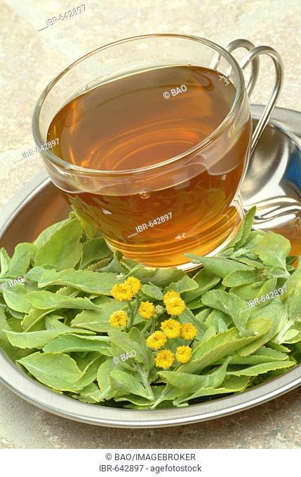 Costmary, Alecost or Balsam Herb (Tanacetum balsamita, Balsamita major), medicinal plant, herbal tea