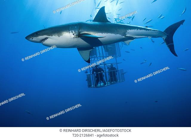 Great White Shark Cage Diving, Carcharodon carcharias, Guadalupe Island, Mexico