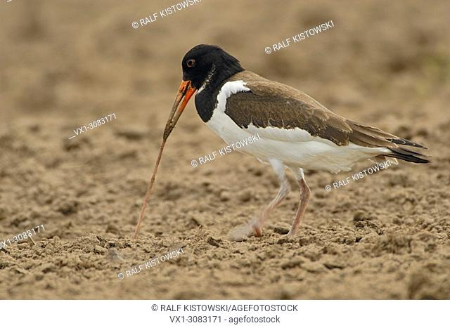 Oystercatcher ( Haematopus ostralegus ) foraging on field, pulling out an earthworm, uses its beak as a tool, wildlife, Europe