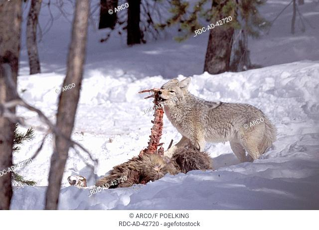Coyote eating from elk carcass Yellowstone national park USA Canis latrans