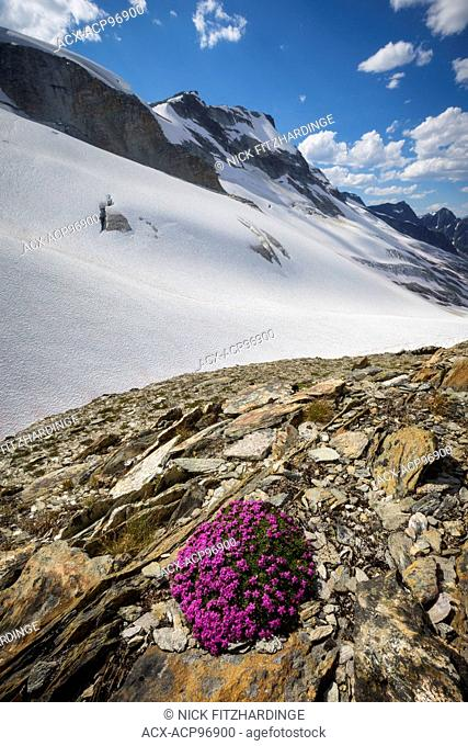 Moss campion, silene acualis growing at Asulkan Pass, Glacier National Park, British Columbia, Canada