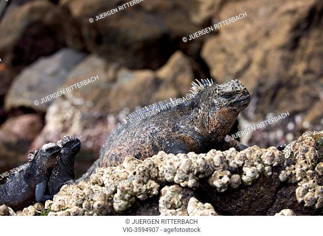 ECUADOR, ISABELA ISLAND, 24.11.2011, Marine Iguana, Amblyrhynchus cristatus, Isabela Island, Galapagos Islands, Ecuador - Isabela Island, Galapagos, Ecuador