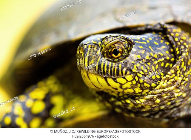 European pond turtle (also called the European pond terrapin), (Emys orbicularis), Campanarios de Azaba Biological Reserve, Salamanca, Castilla y Leon, Spain