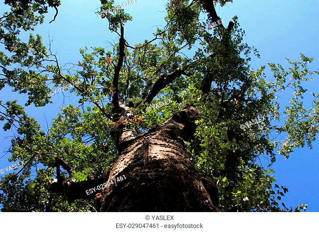 Huge beautiful tree on a summer day