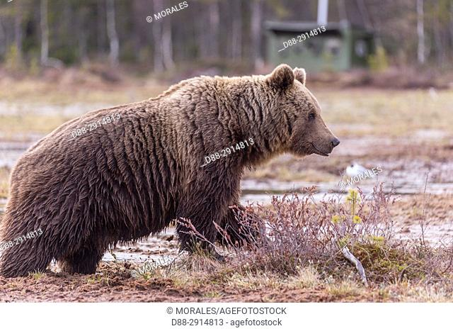 Europe, Finland, Brown bear (Ursus arctos horribilis)