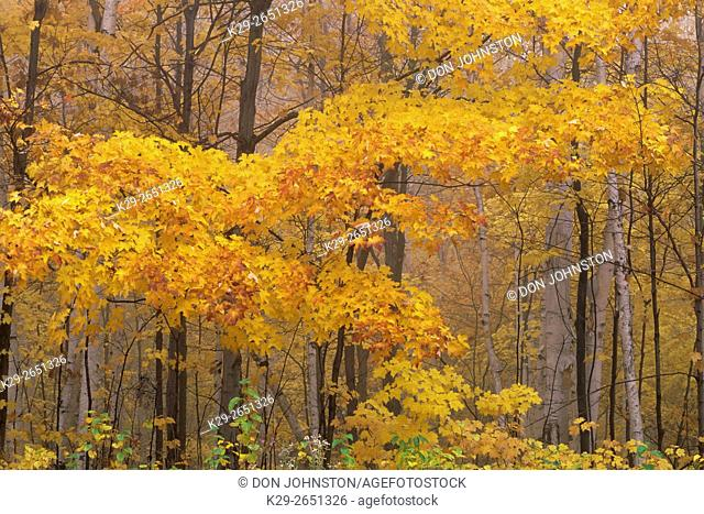 Sugar maple woodland in autumn colour, nar Sandfield, Ontario, Canada