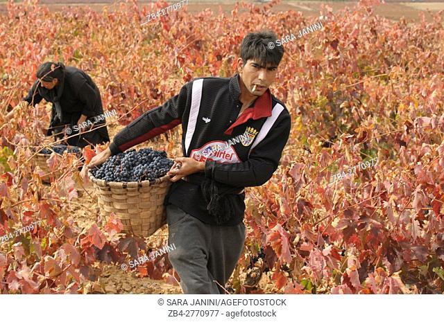 Wine Harvest, García Figuero Winery, La Horra, Burgos, Ribera del Duero, Spain