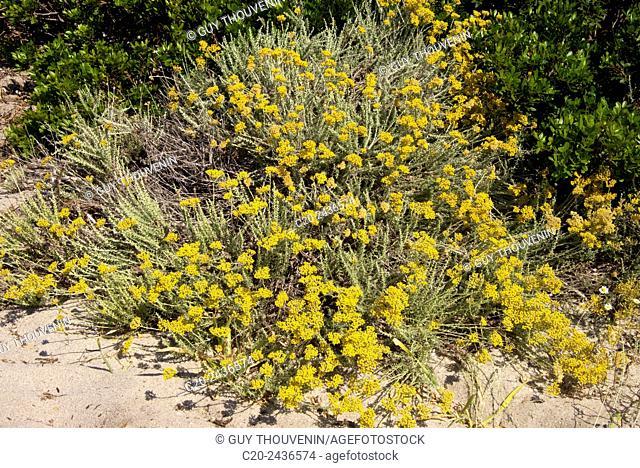 Yellow everlasting flowers, Sardinia, Italy