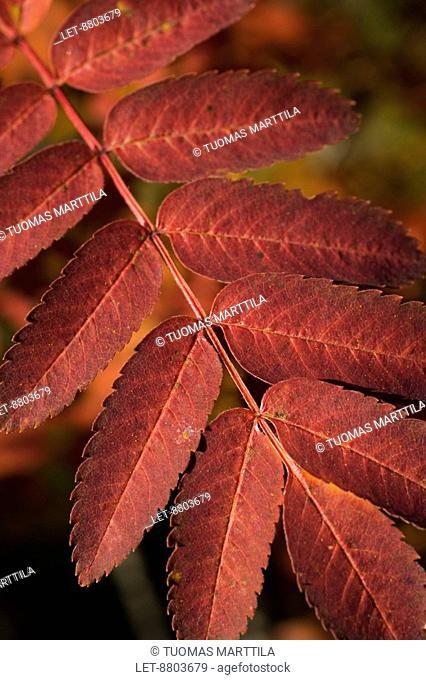 Rowan's Sorbus leaf in the autumn colors