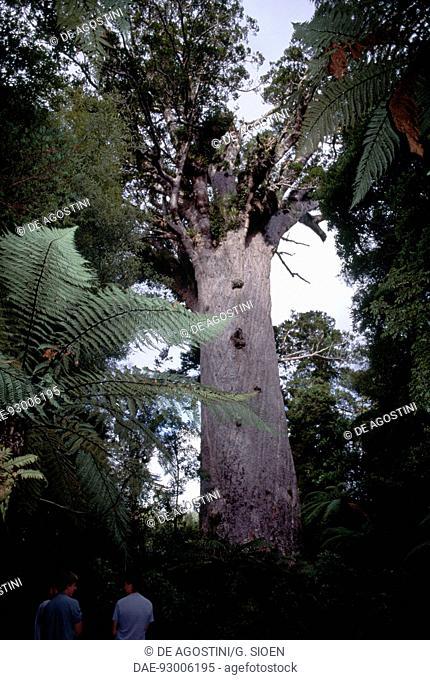 Kauri (Agathis australis), Tane Mahuta, king of the Forest, gigantic specimen in Waipoua kauri Forest, North island, New Zealand