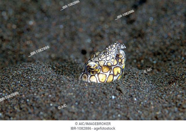 Marbled Snake Eel (Callechelys marmorata), Tulamben, Bali, Indonesia