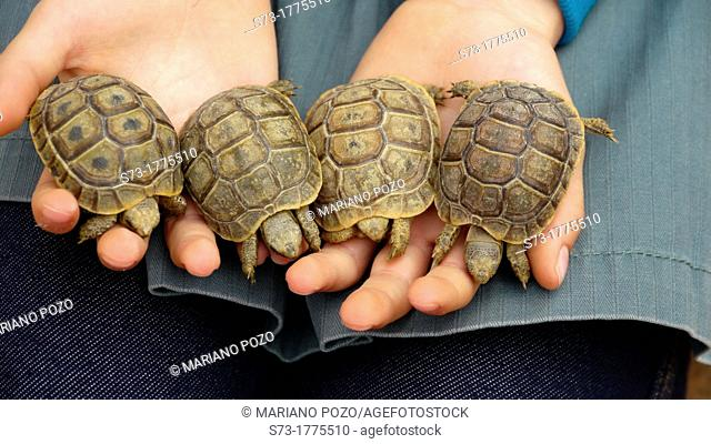 Four Spur-thighted Tortoise Testudo graeca