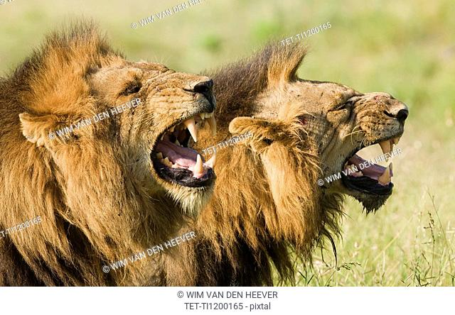 Male lions roaring, Greater Kruger National Park, South Africa