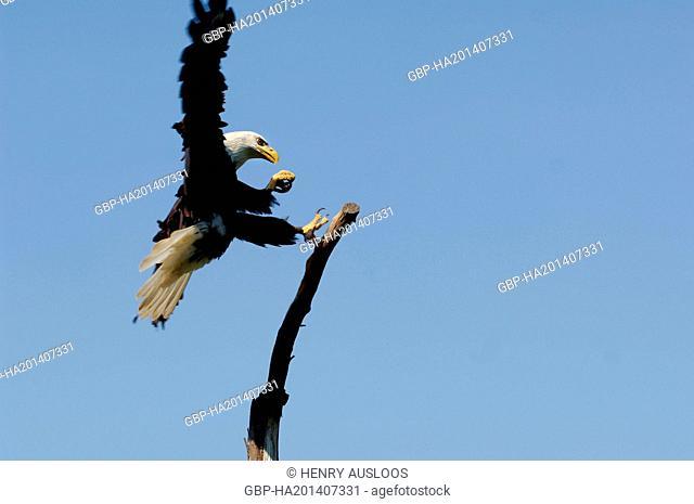 Bald Eagle (Haliaetus leucocephalus) - Northern America
