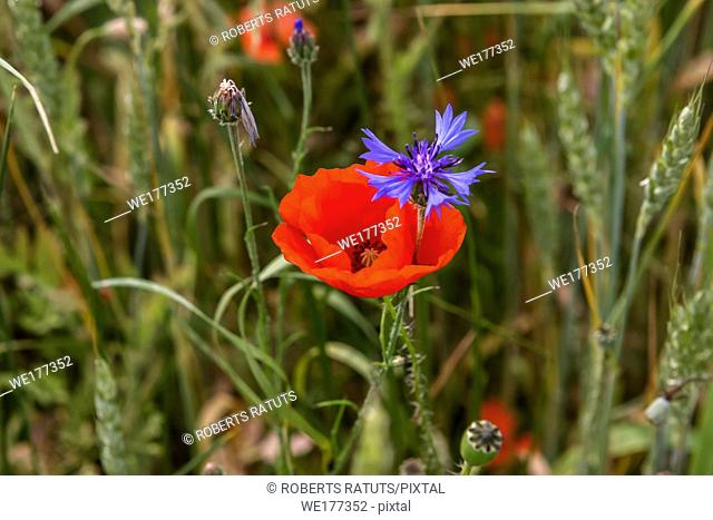 Poppy flower and cornflower. Red poppy flowers. Blooming poppy flowers. Red poppy flowers on a green grass. Garden with poppy flowers. Field flowers