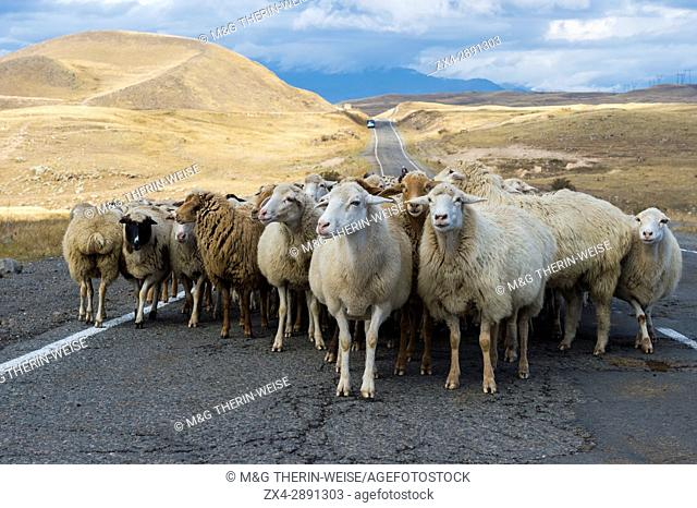 Shephard conducting a group of sheep down a road, Tavush Province, Armenia