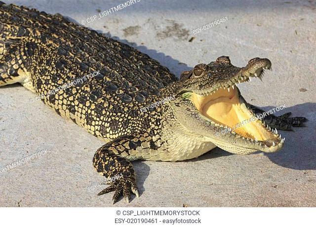 Crocodile agape. Shot in Samut Prakan Crocodile Farm and Zoo. Sa