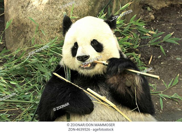 Portrait of giant panda bear (Ailuropoda Melanoleuca) eating bamboo