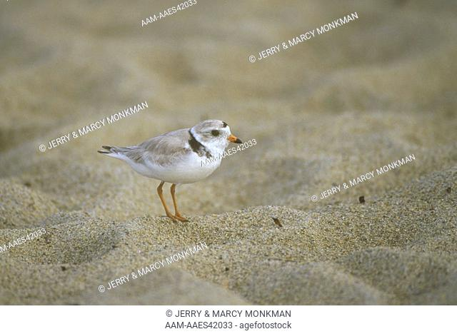 Piping Plover (Charadrius melodus) Seabrook, NH threatened sp., New Hampshire