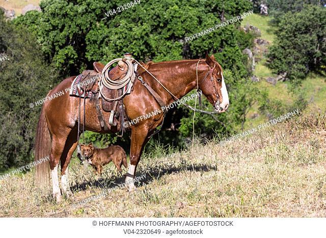 Horse of a wrangler (cowboy) at a horse round up, California, USA
