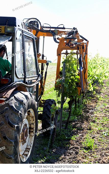 Tractor raising branches of rows of grape vines with lifting wire