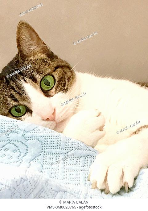 Tabby and white cat lying on bed, grasping the duvet. Close view