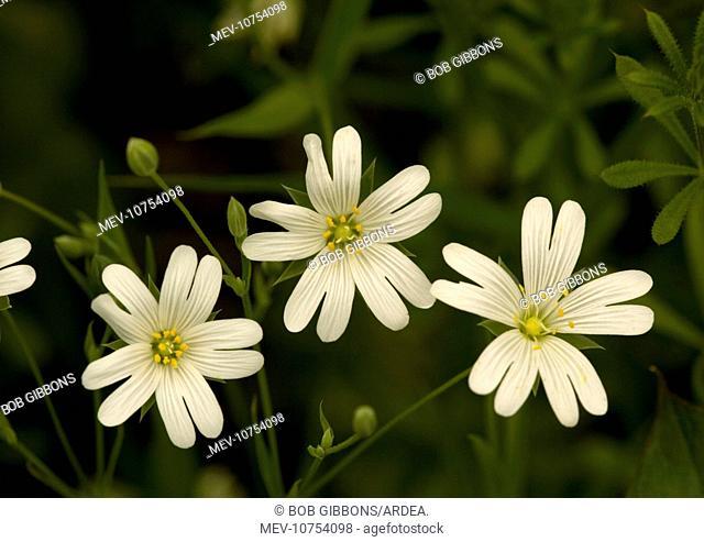 Greater stitchwort. Spring flower (Stellaria holostea)