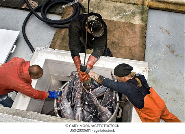 Workmen at waterfront seafood processing plant guiding bucket full of frozen albacore tuna as it is hoisted from fish hold in commercial fishing boat
