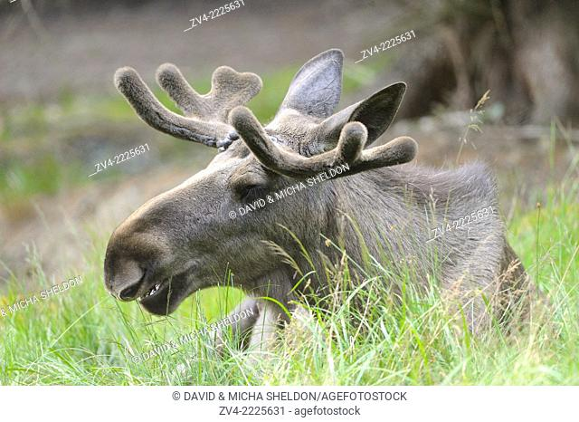 Close-up of a Eurasian elk (Alces alces) male in a forest in early summer