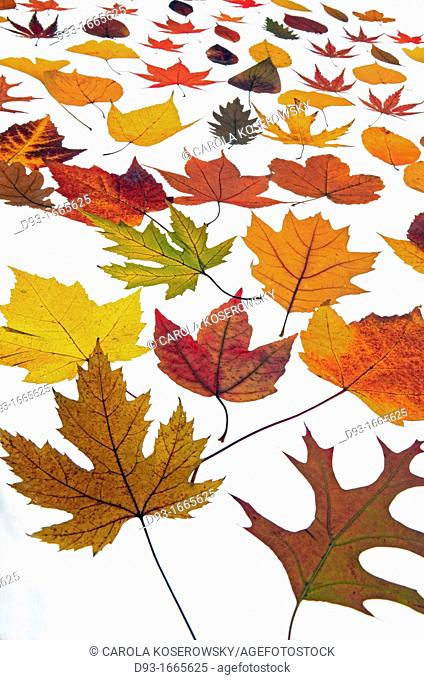 Beautyful autumnal Leaves