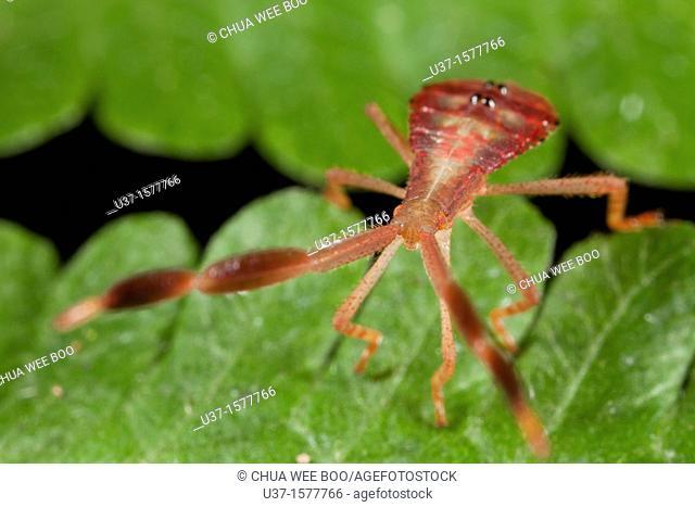 Bug fam. Coreidae nymph found at Kampung Skudup, Sarawak, Borneo