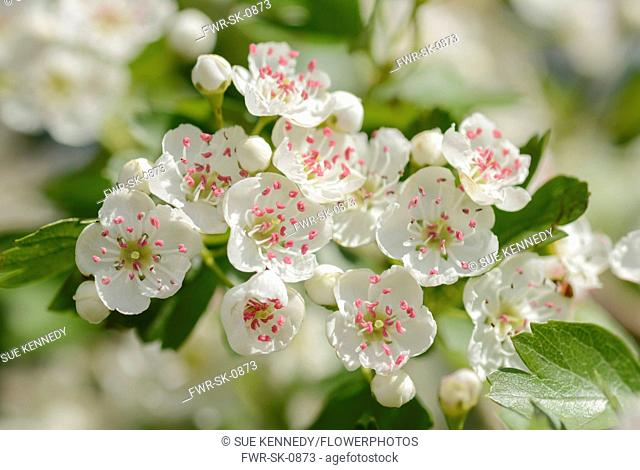Hawthorn, Common hawthorn, Crataegus monogyna, Close up of flowers sunlit in May