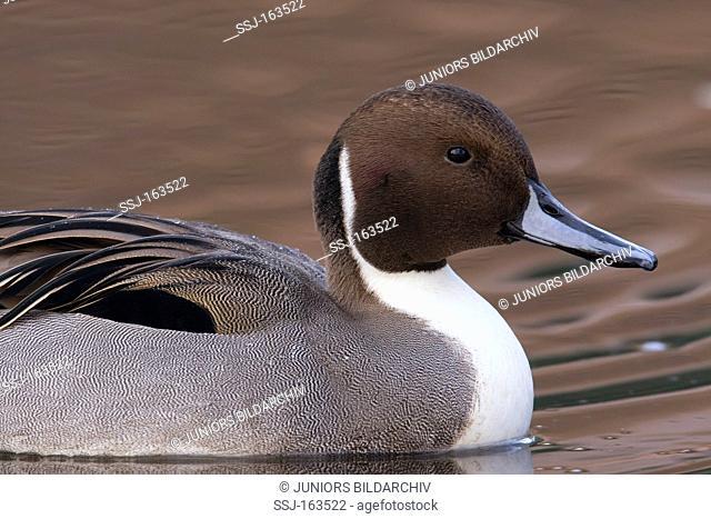 Northern Pintail - swimming / Anas acuta