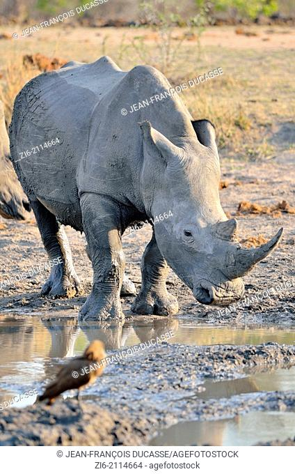 White rhinoceros (Ceratotherium simum), after a mud bath, at waterhole, Kruger National Park, South Africa, Africa
