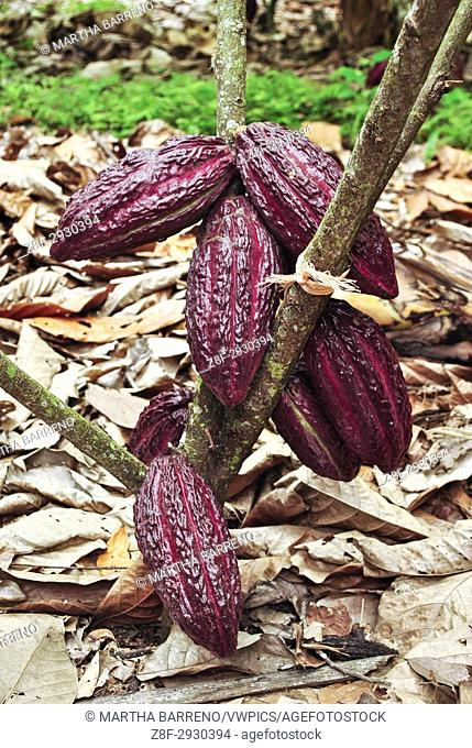 Cacao fruits on the tree (Theobroma cacao). Guayas. Ecuador