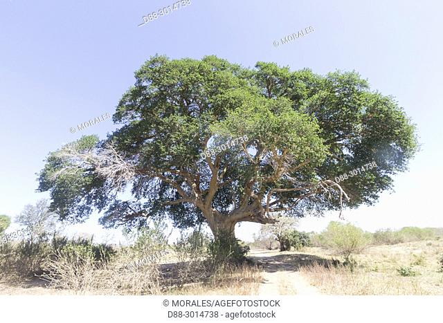 Africa, South African Republic, Mala Mala game reserve, Sycamore fig or the fig-mulberry (Ficus sycomorus)