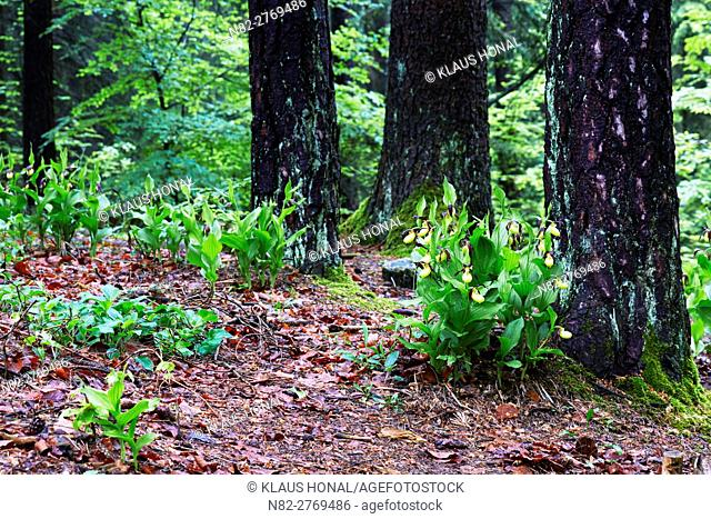 Lady's Slipper orchids (Cypripedium calceolus) blooming after rain in mixed forest - Bavaria / Germany