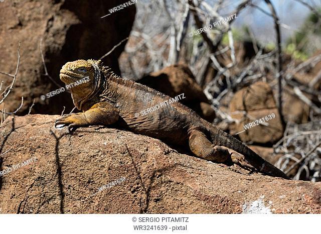 Land Iguana (Conolophus subcristatus), North Seymour Island, Galapagos Islands, UNESCO World Heritage Site, Ecuador, South America