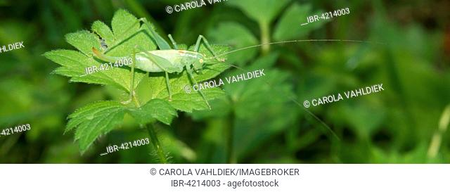 Southern oak bush cricket (Meconema meridionale), female, Mecklenburg-Western Pomerania, Germany