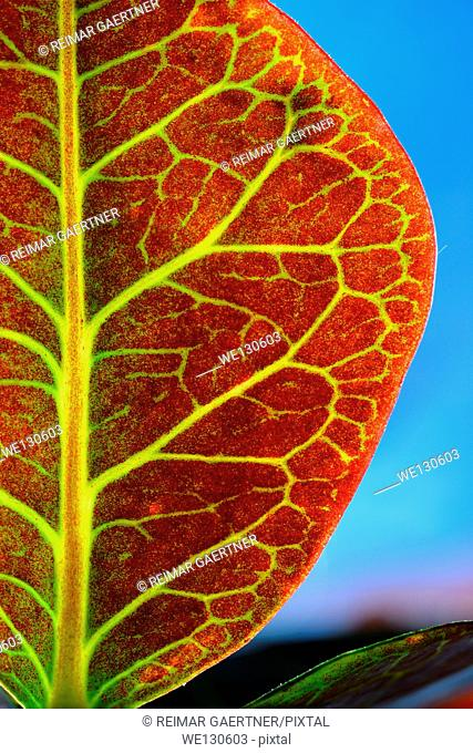 Red leaf and green viens of a backlit variegated Croton against a blue sky