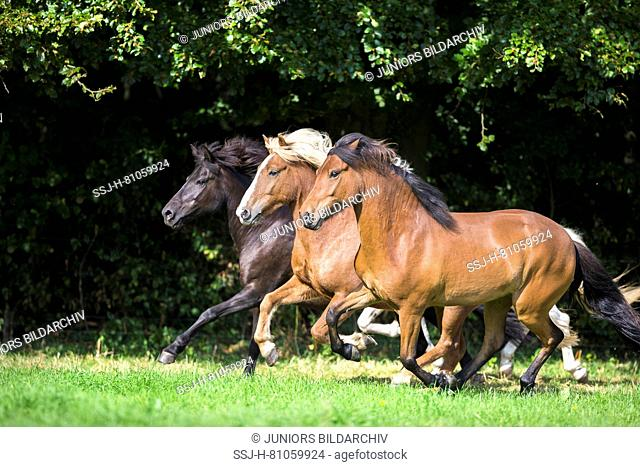 Icelandic Horse. Three horses of different colour galloping on a pasture. Germany