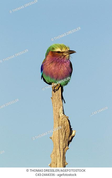 Lilac-breasted Roller (Coracias caudata) - Okavango Delta, Moremi Game Reserve, Botswana